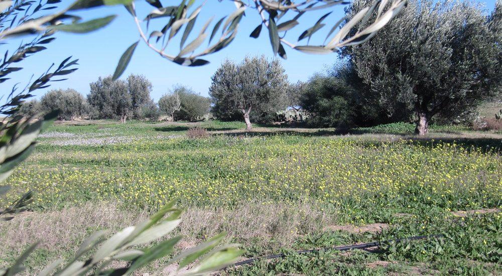 oliviers à L'ombre du palmier