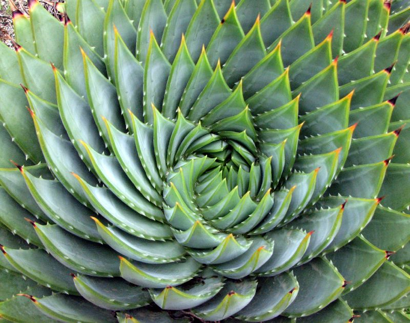 Disposition en spirale des feuille de l'aloe