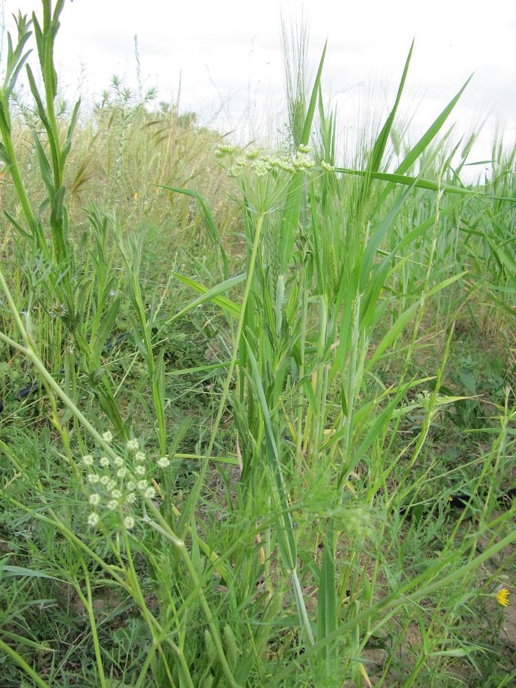 daucus carotta