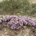 thymus flore des steppes tunisie