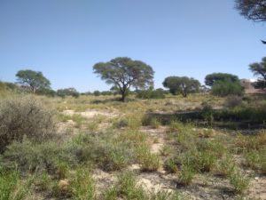 acacia tortillis Bouhedma reboisement permaculture