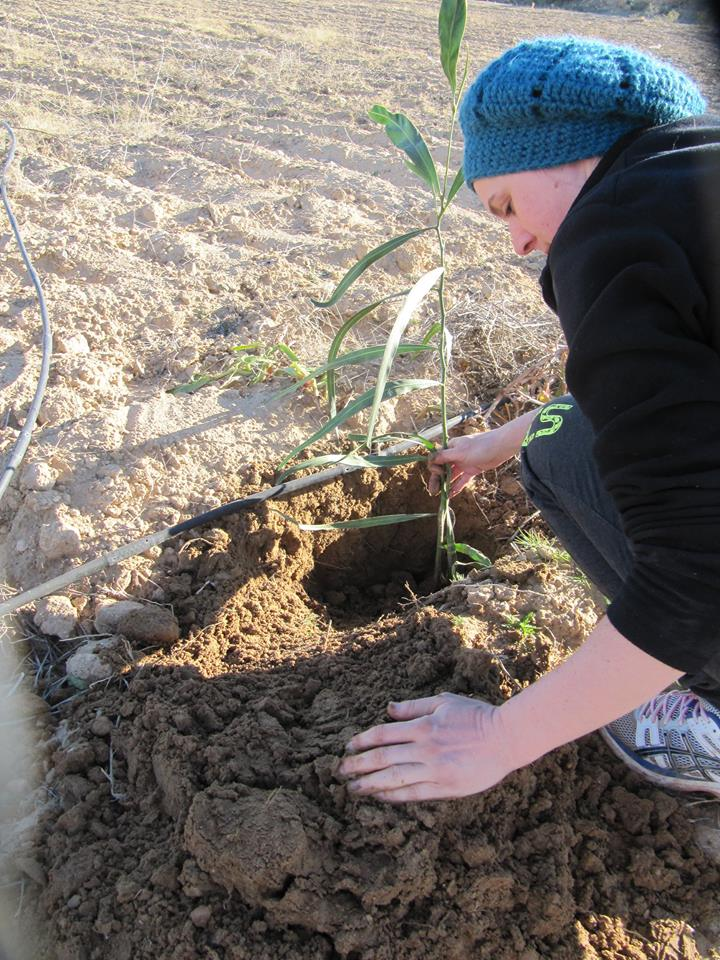 Plantation arbre permaculture tunisie L'ombre du palmier